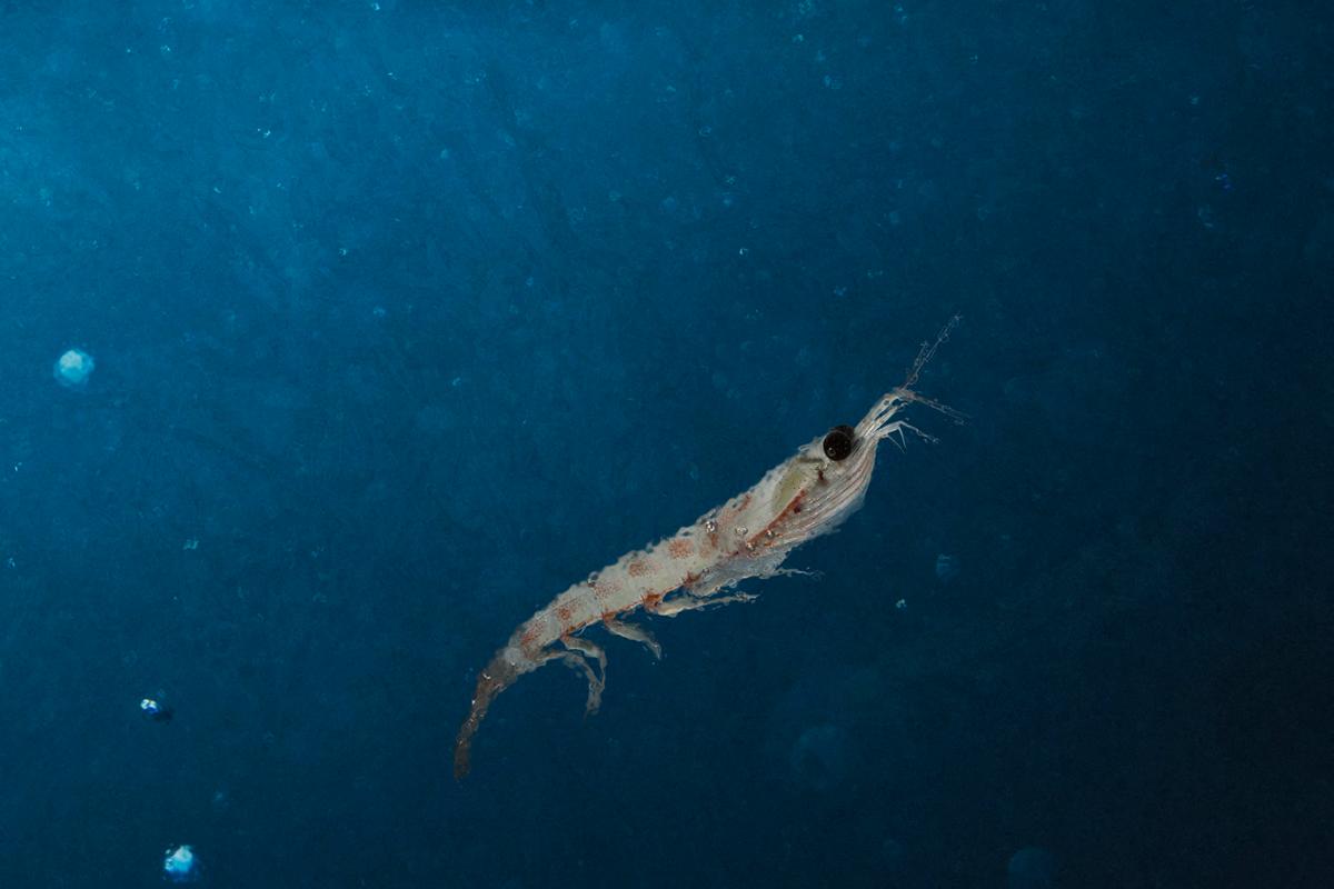 Anarctic krill