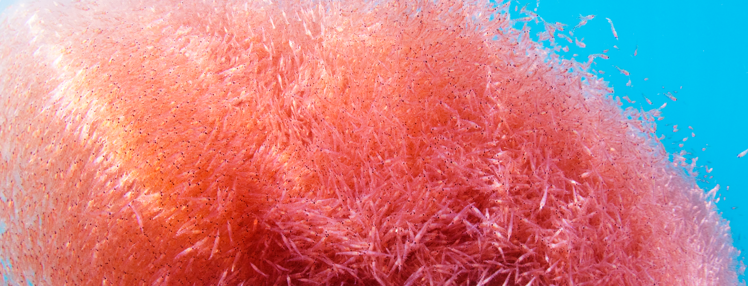 Superba krill - krill under the sea hero image